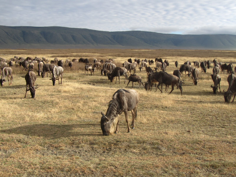 Ngorongoro-wildebeest-in-crater-800x600
