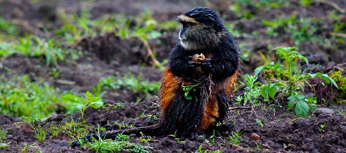 4 Days Rwanda Golden Monkey Tracking